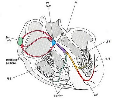 سیگنال های قلبی